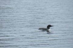 Loon on Big Trout Lake, Algonquin Park