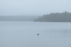 Loon and Misty Background on Big Trout Lake, Algonquin Park